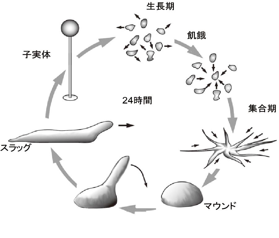 細胞性粘菌の生活様式